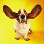 Listening dog