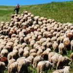 follow shepherd